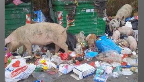 Roma, maiali tra la spazzatura
