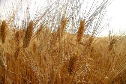manca il grano