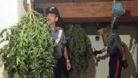 marijuana-imola