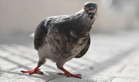 piccione