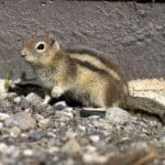 scoiattolo-peste