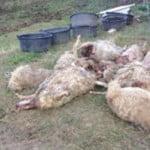 pecore-lupi