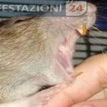 topi-ratto