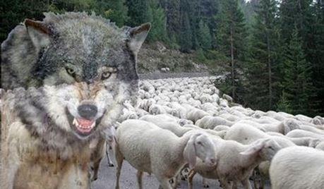 pecore in mezzo ai lupi