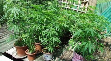 coltivazione della cannabis