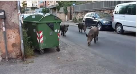 cinghiali a Roma