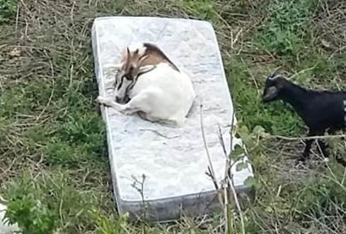 roma capre sui materassi abbandonati